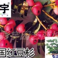 供应中国红豆杉树中国红豆杉苗,果树,果苗,花卉苗