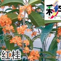 供应早红桂花树桂花苗,果树,果苗,花卉,花卉苗
