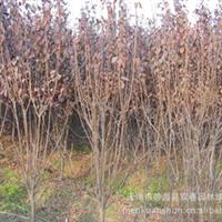 公司专业直供 成活率高 观叶型 红叶李