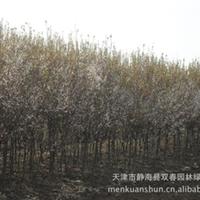 公司专业直供樱桃李 可做风景树