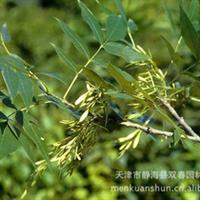 天津地区长期对外批发销售优质白蜡树苗