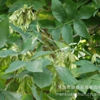 天津供应商长期大量销售白蜡树苗