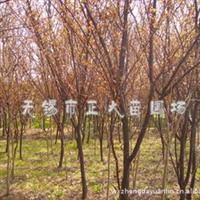 供应优质、低价红叶李 一年生小苗及多年生大树