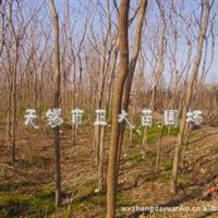 供应优质、低价重阳木 一年生小苗及多年生大树