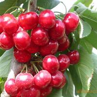 樱桃 色泽诱人 健康 美容 新鲜 美味