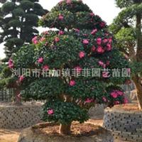 苗木基地大量批发供应造型茶梅  园林绿化灌木