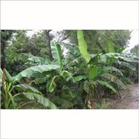 供应芭蕉 苗木批发 盆栽 基地直销 售后服务 价格优惠