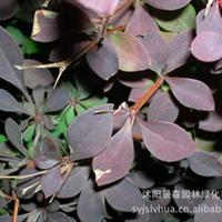紫叶小檗【 常年大量供应】低价出售优质紫叶小檗