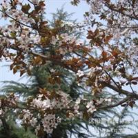 红叶李【 常年大量供应】各种规格的 紫叶李