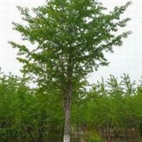 供应优质苗木  漂亮美观    价格优惠