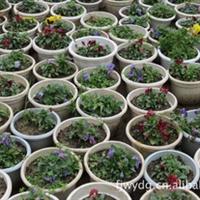 三色堇、盆栽、适宜家庭园艺、活动添景