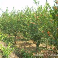 三千亩苗木基地直供优质石榴树树苗,品种多种类全质量优价格低