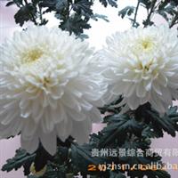 产地优质反季节菊花【鲜切化】批量供应【量大从优】【定向培育】