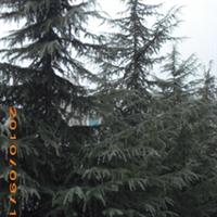 贵州远景 【优质】雪松等苗木销售及规划种植【量大从优】