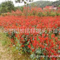浏阳绿雄天下苗圃供应乔木   红叶石楠