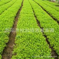 厂家直销大量园林绿化灌木杜鹃 成活率高