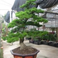 供应日本黑松、室内观叶植物