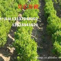 长期大量供应小叶黄杨 各种黄杨