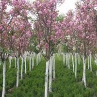 长期低价出售绿化工程苗木 3公分樱花小树