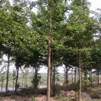 长期低价出售绿化行道树 3-15公分银杏
