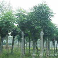 长期大量低价出售绿化苗木 3-15公分栾树