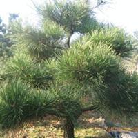 绿化苗木 山东 济南大量提供黑松等绿化苗木