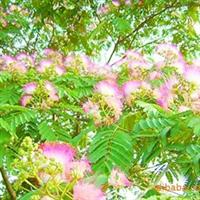 绿化苗木 山东 济南提供合欢规格齐全