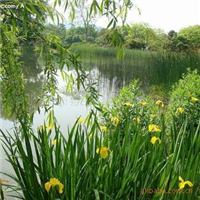 常年供��大量白洋淀���|水生植物 �J� 荷花 �S菖蒲