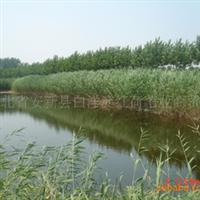 常年供应大量白洋淀优质水生植物 芦苇 纸浆芦苇