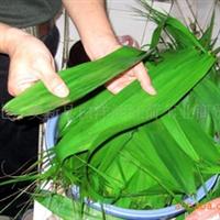 常年供应大量白洋淀优质水生植物 芦苇 白洋淀芦苇叶