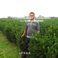 长期大量供应优质北海道黄杨 各种黄杨出售
