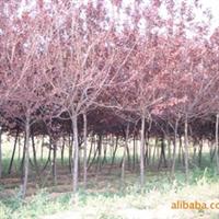 绿化苗木 山东 济南 大量提供4公分紫叶李