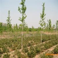 绿化苗木 山东 济南大量提供白皮松小苗等苗木
