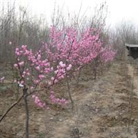 大量供应红梅 绿化 果树苗木  山东海洼苗圃