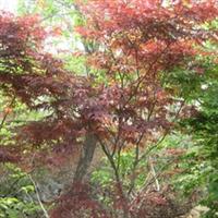 大量供应红枫 品种齐全 绿化苗木----山东海洼苗圃