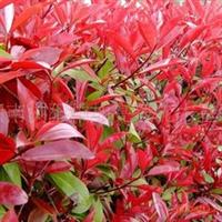 供应灌木类H20-30cm红叶石楠小苗  欢迎订购