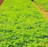 基地供应1-2年生藤本植物 湖南常春藤 爬山虎