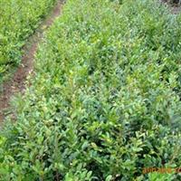 基地优价直销湖南绿化苗木蚊母