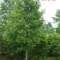大量供应各种大小规格乔木类绿化苗木马褂木及鹅掌楸