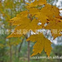 大量长期供应各种优质绿化苗木红枫树