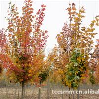厂家种植直销红枫 美国红枫