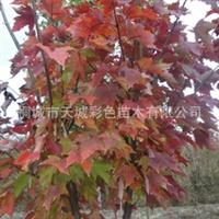 公司直销彩色树--红枫,彩叶树【8--10公分】株干挺拔,红叶似火