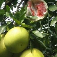 红心柚苗/葡萄柚苗