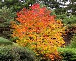 彩叶树 绿化苗木 乔灌木 红枫