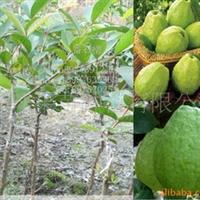 果苗 果树 珍珠番石榴 果苗 一年四季都结果 果树