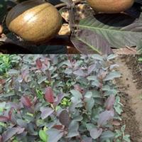 果苗 果树 红色番石榴 果苗 苗木 花卉 优质 种