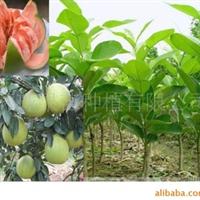 果苗 果树 优良品种 红肉蜜柚苗 优质柚子苗 果树