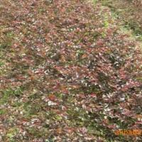 基地长期大量出售红继木小苗、红继木木球
