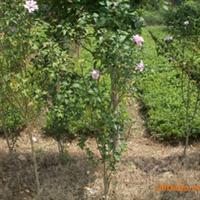 优价供应绿化苗木----木槿
