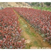 红叶石楠小苗。工程苗
